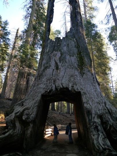 Giant Sequoias in Tuolumne Grove